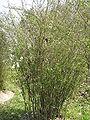 Spiraea prunifolia3.jpg