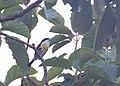 Spot-crowned Barbet.jpg