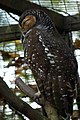 Spotted Wood-owl (Strix seloputo).jpg