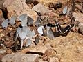 Spring Azure & Bordered Patch Butterflies - South Fork - Cave Creek- Portal - AZ - 2015-09-11at10-59-58 (21900140326).jpg
