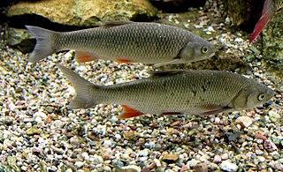<i>Squalius cephalus</i> species of fish