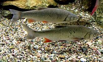 Squalius cephalus - Image: Squalius cephalus Prague Vltava 2