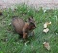 Squirrel in Peterhof.jpg