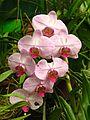 Sri Lanka - Kandy Botanical Garden - Orchids - 05 (1756632367).jpg
