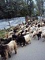 Srinagar - Sonamarg views 11.JPG