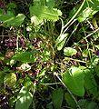Stachys officinalis20090811 036.jpg