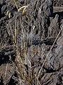 Starr-030721-0152-Anthoxanthum odoratum-habit-Kalahaku HNP-Maui (24269973549).jpg