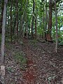 Starr-041214-1539-Cordyline fruticosa-trail building-Makawao Forest Reserve-Maui (24695116586).jpg
