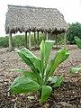 Starr-060329-6833-Cordyline fruticosa-view hale-Maui Nui Botanical Gardens-Maui (24563548450).jpg