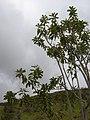 Starr-060429-9459-Charpentiera obovata-habit-Auwahi-Maui (24234377714).jpg