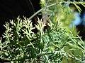 Starr-081031-0430-Anethum graveolens-leaves-Makawao-Maui (24631286430).jpg