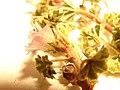 Starr-090504-7363-Malva neglecta-flower and leaves-Science City-Maui (24954392995).jpg