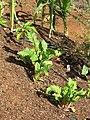 Starr-090707-2406-Beta vulgaris subsp cicla-in vegetable garden-Olinda-Maui (24851071702).jpg