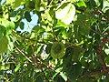 Starr-090714-2695-Pterocarpus indicus-fruit and leaves-Napili-Maui (24342734943).jpg