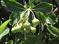 Starr-090721-3270-Fagraea berteroana-fruit-Wailuku-Maui (24852505082).jpg