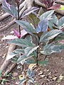 Starr-090730-3427-Graptophyllum pictum-reddish leaves-Honolulu Airport-Oahu (24343879843).jpg