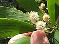Starr-090804-3694-Acacia melanoxylon-leaves and flowers-MISC HQ Piiholo-Maui (24675648450).jpg