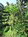Starr-091104-9304-Carica papaya-male flowers-Kahanu Gardens NTBG Kaeleku Hana-Maui (24358391744).jpg