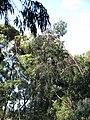 Starr-091115-1126-Eucalyptus sideroxylon-flowering habit-Olinda-Maui (24989919095).jpg