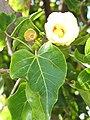 Starr-091221-0761-Thespesia populnea-flower and leaves-Honokanaia-Kahoolawe (24964883016).jpg
