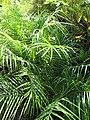 Starr-110215-1290-Phoenix roebelenii-habit-KiHana Nursery Kihei-Maui (24449163383).jpg