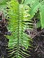 Starr-110827-8111-Nephrolepis exaltata-frond-Waihee Ridge Trail-Maui (24735831449).jpg