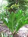 Starr-120522-6018-Anthurium hookeri-habit-Iao Tropical Gardens of Maui-Maui (25142010275).jpg