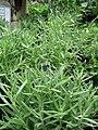 Starr-120613-9675-Lavandula angustifolia-habit-Lowes Nursery Kahului-Maui (24849861220).jpg