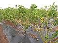Starr-120620-7525-Jatropha curcas-Biofuel plantings-Kula Agriculture Park-Maui (25145847425).jpg
