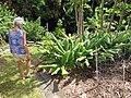 Starr-121108-0742-Curcuma longa-habit with Angela-Pali o Waipio-Maui (25169746896).jpg