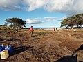 Starr-131218-2872-Setaria verticillata-habit with Jamie and volunteers-Honokanaia-Kahoolawe (25202426296).jpg