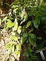 Starr-140518-0545-Garcinia mangostana-habit-Hamana Pl Haiku-Maui (24947033860).jpg
