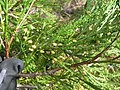 Starr-141106-5329-Calocedrus decurrens-branch with male cones-8500 Ft Grove HNP-Maui (25222412556).jpg