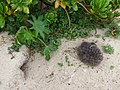 Starr-150404-0601-Ricinus communis-small plant with Laysan Albatross chick-Radar Hill Sand Island-Midway Atoll (24982559670).jpg