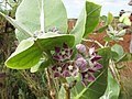 Starr-151214-3256-Calotropis procera-flowers leaves-Upper Hakioawa-Kahoolawe (26259123476).jpg
