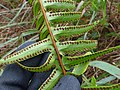 Starr-170727-0507-Nephrolepis exaltata subsp hawaiiensis-sori-Makamakaole-Maui - Flickr - Starr Environmental.jpg
