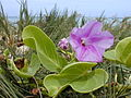 Starr 010209-0292 Ipomoea pes-caprae subsp. brasiliensis.jpg