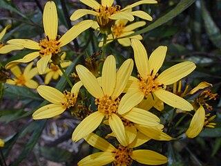 <i>Bidens micrantha</i> Species of flowering plant