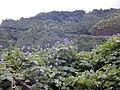 Starr 021012-0001 Pueraria montana var. lobata.jpg
