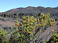 Starr 031001-0059 Coprosma montana.jpg