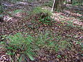 Starr 050115-3091 Setaria parviflora.jpg