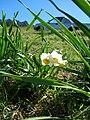 Starr 051224-5771 Narcissus tazetta.jpg