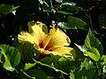 Starr 070111-3205 Hibiscus rosa-sinensis.jpg