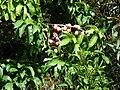 Starr 070321-6131 Syzygium malaccense.jpg
