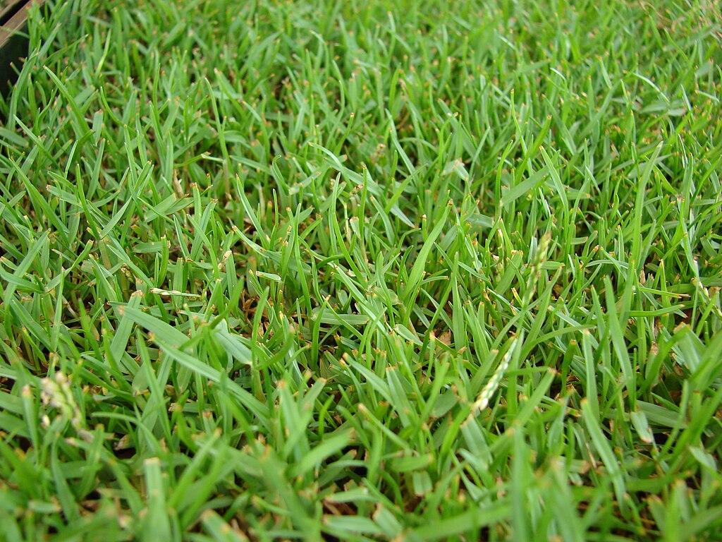 Fine Blade Zoysia Grass Seed