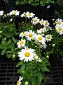 Starr 070906-8715 Leucanthemum x superbum.jpg