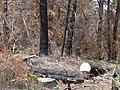 Starr 070908-9181 Pinus sp..jpg