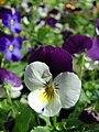 Starr 080117-2096 Viola sp..jpg