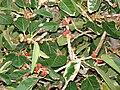 Starr 080305-3283 Ficus benghalensis.jpg