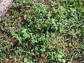 Starr 090121-1039 Sigesbeckia orientalis.jpg